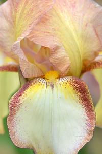 Iris Patrice