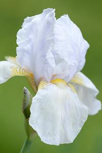 White Iris Whambliska