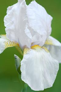 Iris-Wambliska