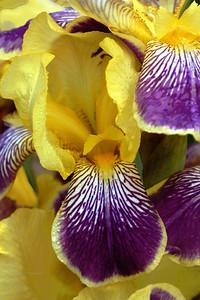 Iris-Loreley