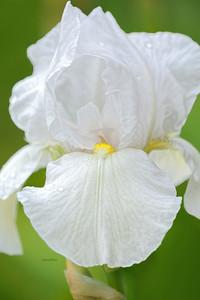 Iris-Mount Washington