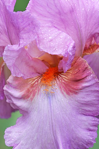 Iris Portrait Persian Berry