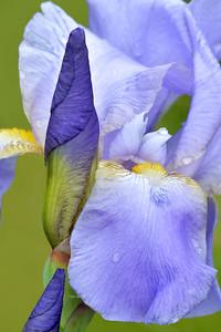 Iris-Blue Blazes