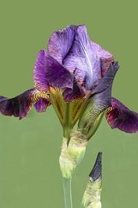 Iris Melchoir