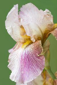 Iris-Novelty