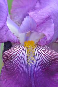 Iris-Zebulon