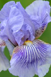 Iris-Spriped Butterfly