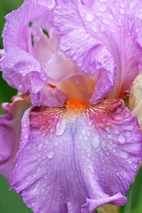 Iris Persian Berry