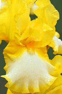 Iris-Bicentennial