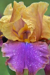 Iris Syncopation