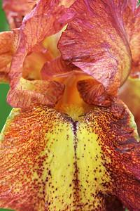 Iris -Red Hot Chili