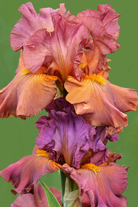 Iris Early Harvest