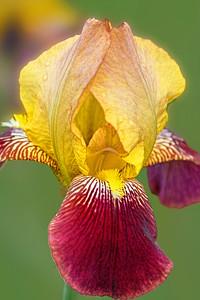 Iris-Picador