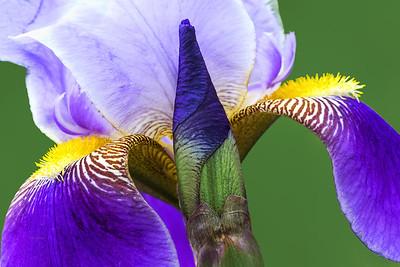 Bearded Iris-Prospero