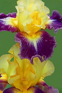 Iris-Who Needs a Prince