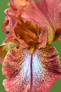 Iris Cayenne Capers
