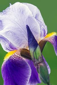 Iris-Prospero