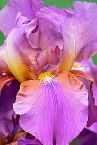 Bearded Iris-Miss California