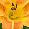 Yellow-Orange Daylily Portrait