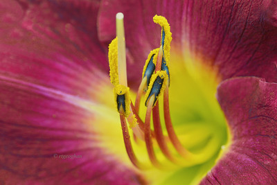 Burgundy-Yellow Daylily