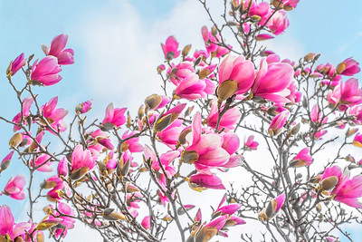 Pink Saucer Magnolia Blossoms