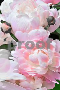 Pink Blush Peoniy Cluster