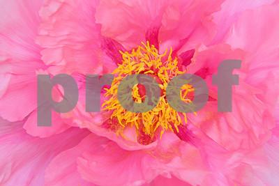 Rosy Pink Peony