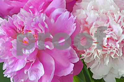 Peonies-Shades of Pink