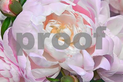 Pink Pastel  Peony Portrait