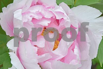 Pink Peony Portrait