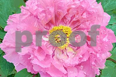 Rosy Pink Tree Peony