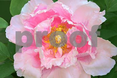 Pink Peony Opening Petals