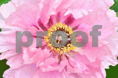 Pink Tree Peony Portrait