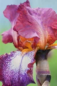 Bearded Iris Splash of Wine