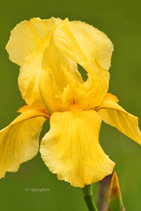 Bearded Iris Speculator