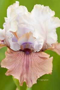 Bearded Iris Imprimis