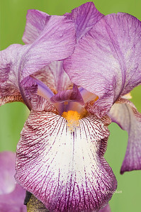 Bearded Iris Playback