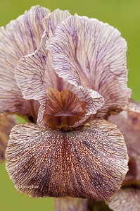 Bearded Iris Sand Dancer