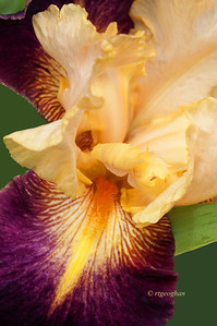 Bearded Iris Let's Boogie