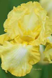 Bearded Iris Soft Moonbeam