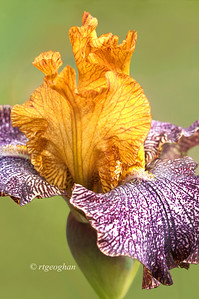 Bearded Iris Temporal Anomaly