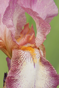 Bearded Iris Raspberry Ribbon