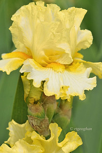 Bearded Iris Nine Eleven Remembered
