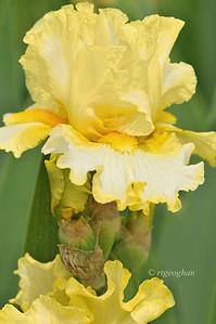 Bearded Iris Nine Eleven Remembered