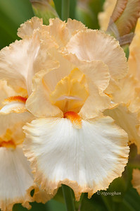 Bearded Iris Halo Peach