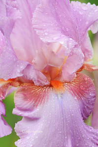 Bearded Iris Persian Berry