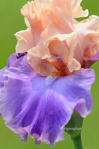 Bearded Iris Poem of Ecstacy