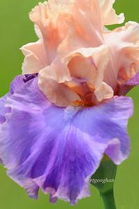 Bearded Iris Poem of Ecstacy