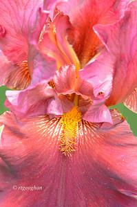 Bearded Iris Dynamite