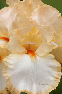 Bearded Iris Halo Peach